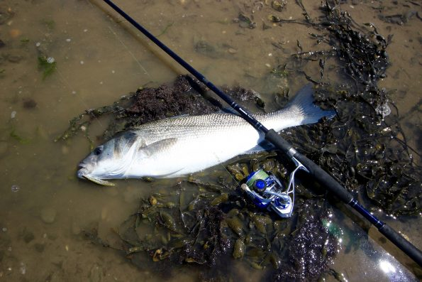 A fine 5lb Bass caught in the Taw estuary using a Snowbee raptor rod & 4000 reel on a Stinger Tide-Runner Minnow 125F