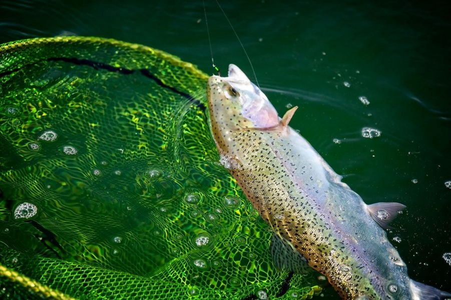 A lovely trout comes to the net nymphing