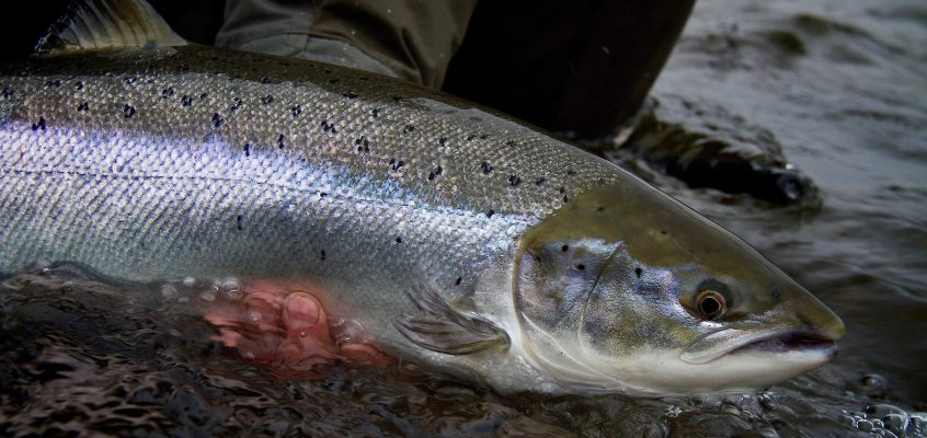 Chasing February silver on the majestic River Dee!